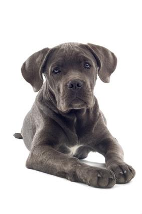 cane corso mastiff puppy dog isolated on a white background